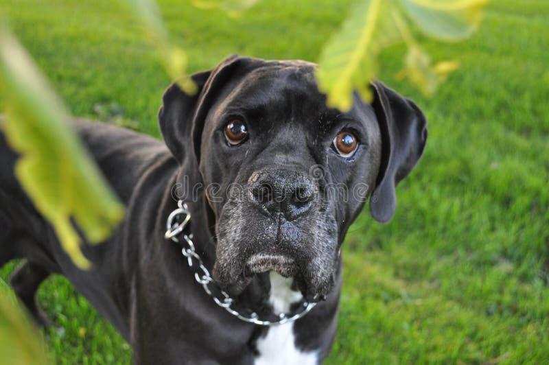 красивейшая черная собака стоковые изображения rf