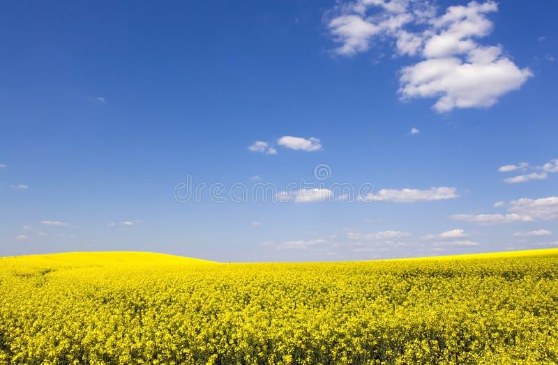 красивейшее голубое ясное небо рапса поля стоковые фото