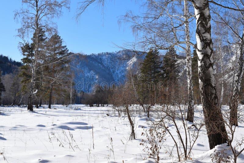 Красивейшее изображение зимы landscape Горы и березы Сибирь Khakassia стоковые изображения rf