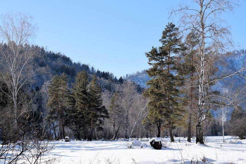 Красивейшее изображение зимы landscape Горы и березы Сибирь Khakassia стоковые фото