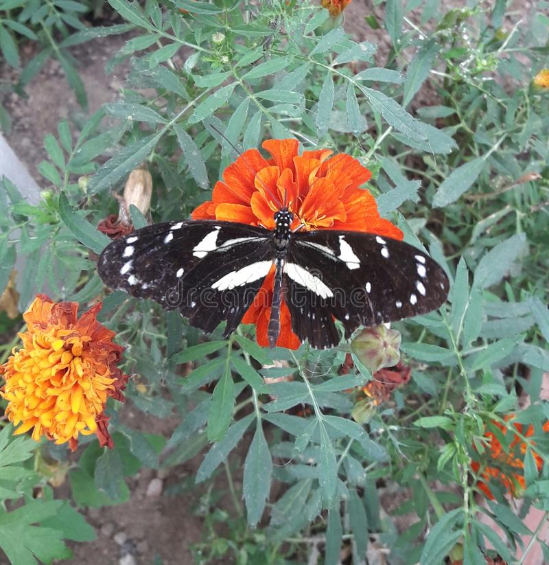 красивейшее усаживание цветка бабочки стоковые фото