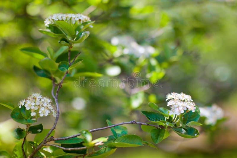 Белые цветки весной стоковое фото rf