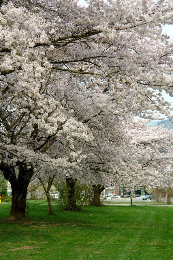 Вишневые деревья весной с полными цветениями стоковое изображение