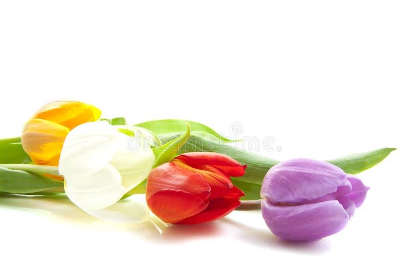 красивейшие голландские тюльпаны стоковое изображение