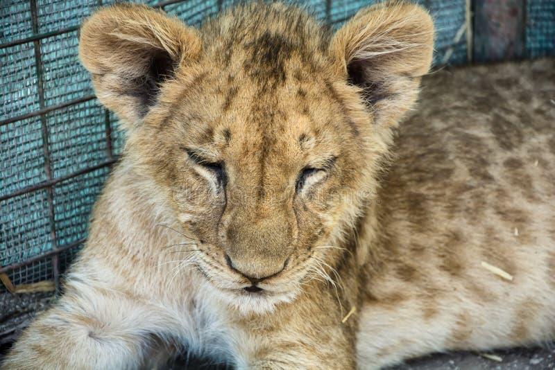 красивейшие детеныши льва стоковые изображения rf