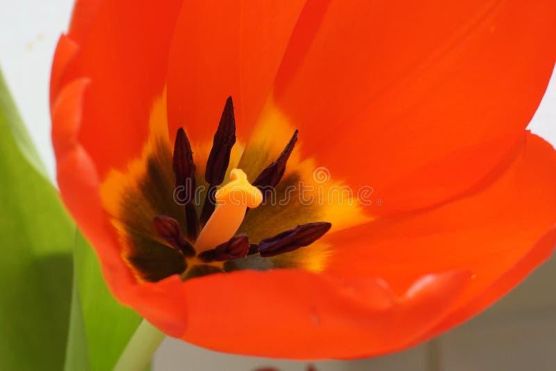 красивейшие красные тюльпаны стоковые фотографии rf
