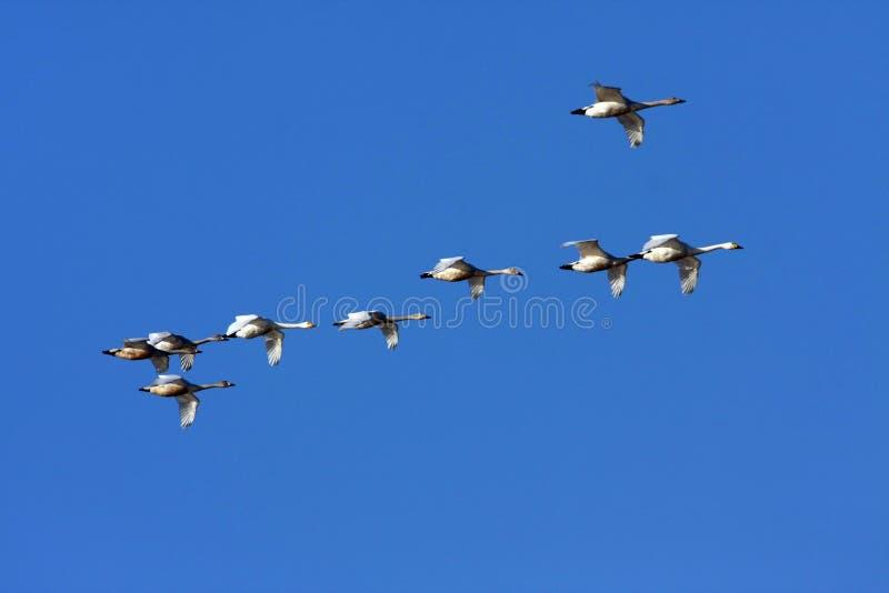 красивейшие лебеди стоковое фото rf