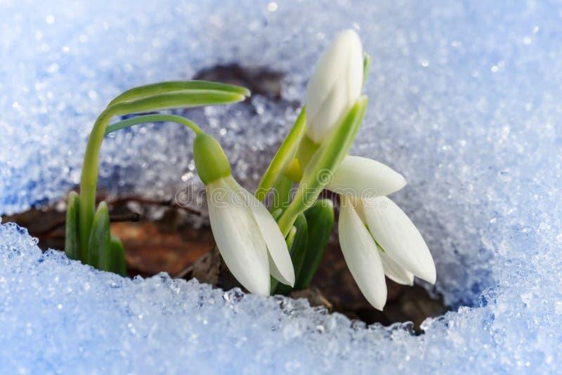 Красивейшие первые snowdrops стоковые фотографии rf