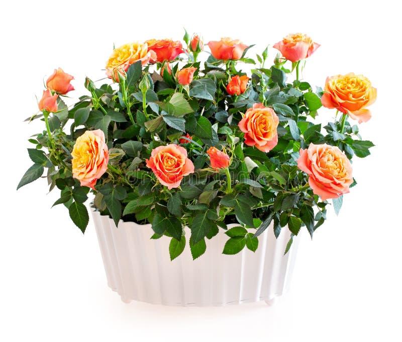 Красивейшие свежие розы стоковые изображения