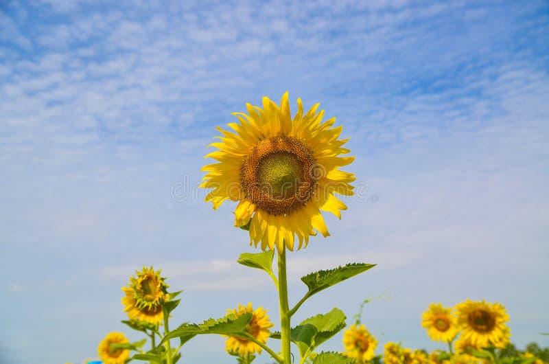 Красивейшие солнцецветы на поле стоковые изображения rf