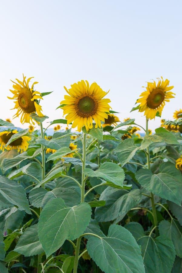 красивейшие солнцецветы поля стоковые изображения rf