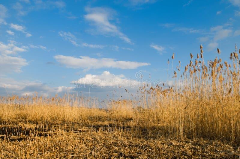 красивейшие тростники ландшафта стоковое фото rf