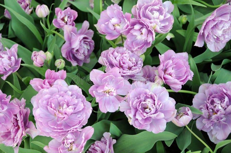 красивейшие тюльпаны стоковые фото