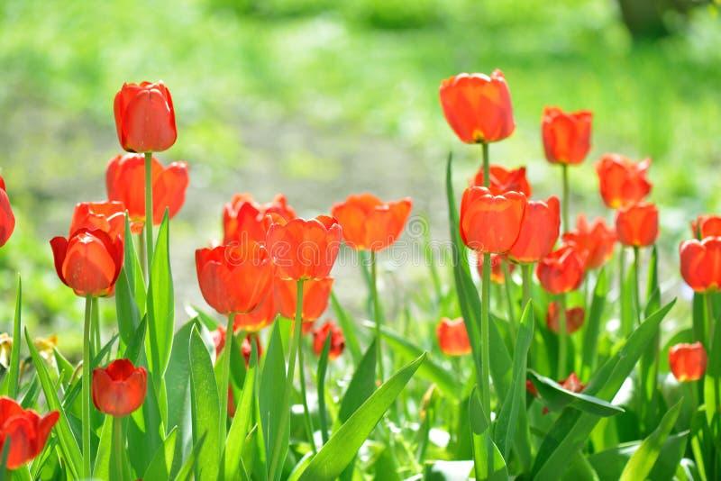 красивейшие тюльпаны времени весны поля стоковые фотографии rf