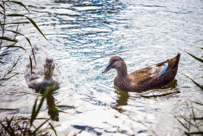 красивейшие утки 2 стоковая фотография