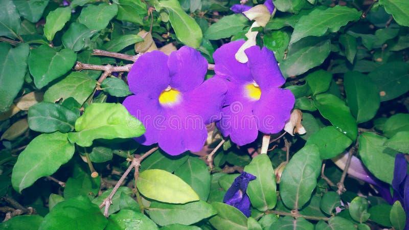 красивейшие цветки лиловые стоковые фотографии rf