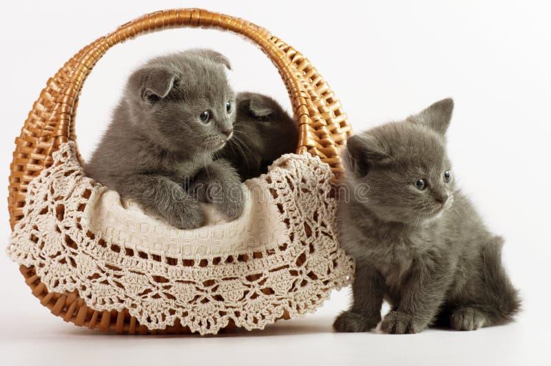 Красивейшие шотландские молодые коты стоковое изображение rf