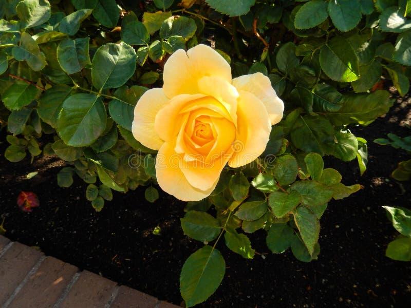 красивейший близкий розовый поднимающий вверх желтый цвет стоковое фото