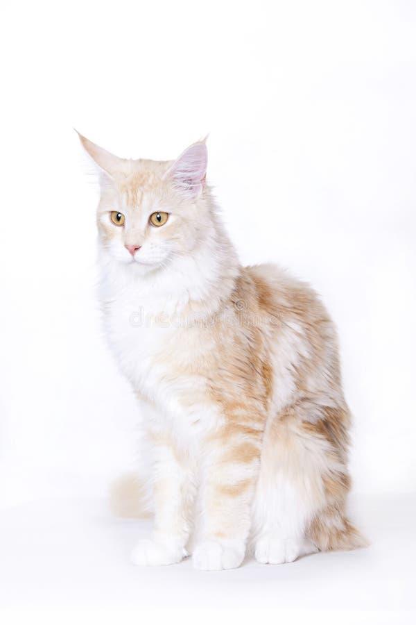 красивейший енот Мейн кота стоковое изображение