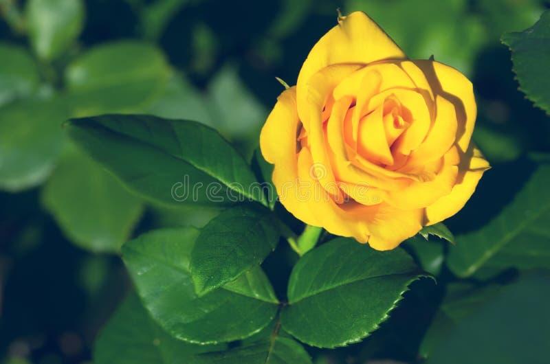 красивейший желтый цвет розы стоковое фото rf