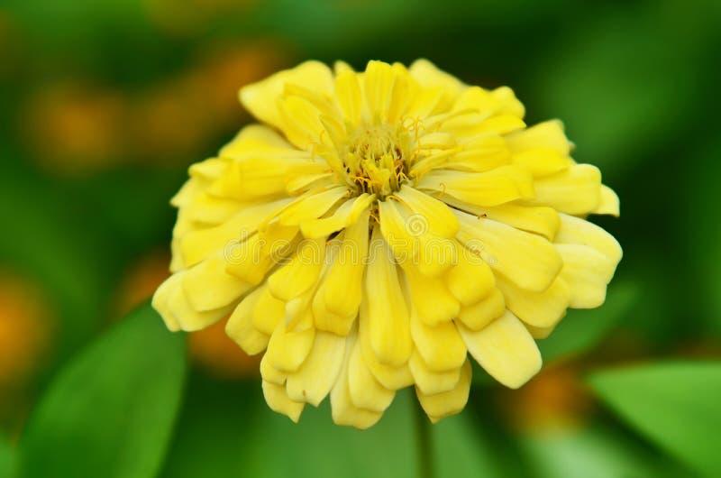 красивейший желтый цвет цветка стоковая фотография