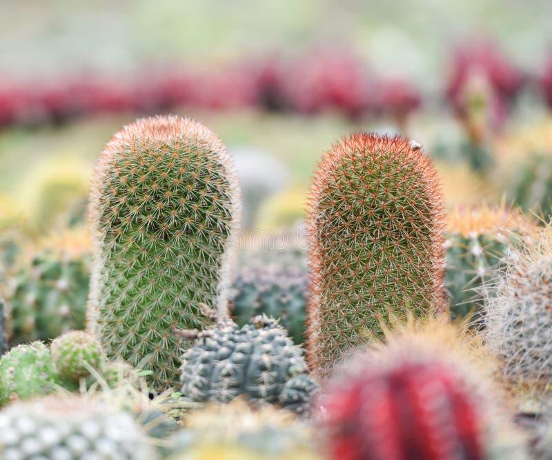 Красивейший кактус стоковые фотографии rf