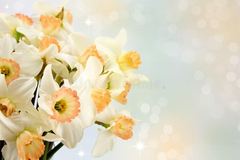 Daffodils стоковые изображения rf