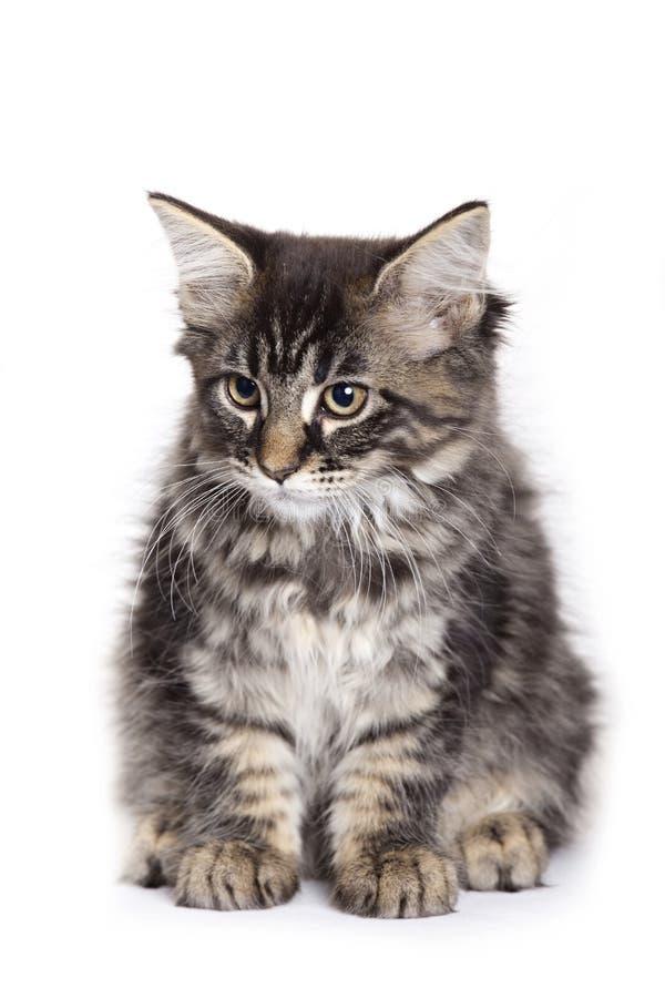 красивейший котенок Мейн енота стоковые фото