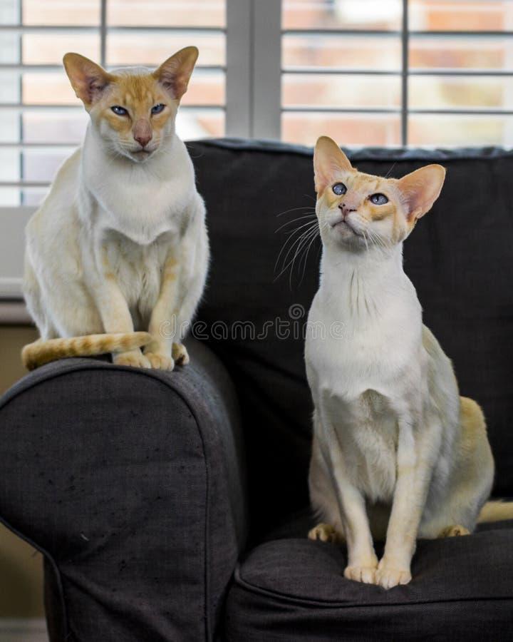красивейший кот сиамский стоковые фотографии rf