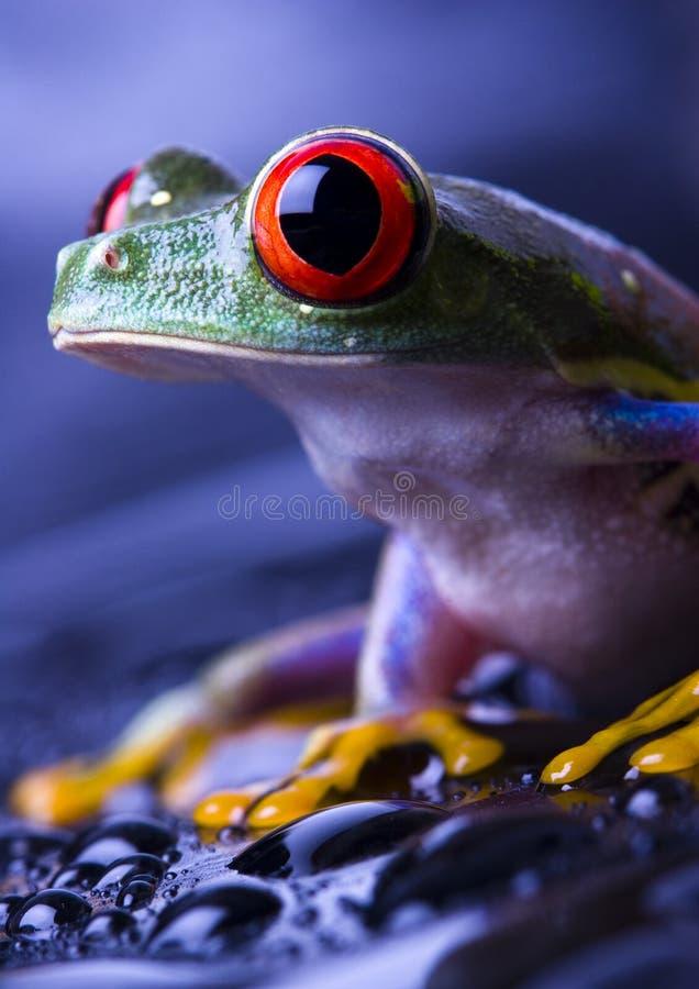 красивейший красный цвет лягушки стоковая фотография rf