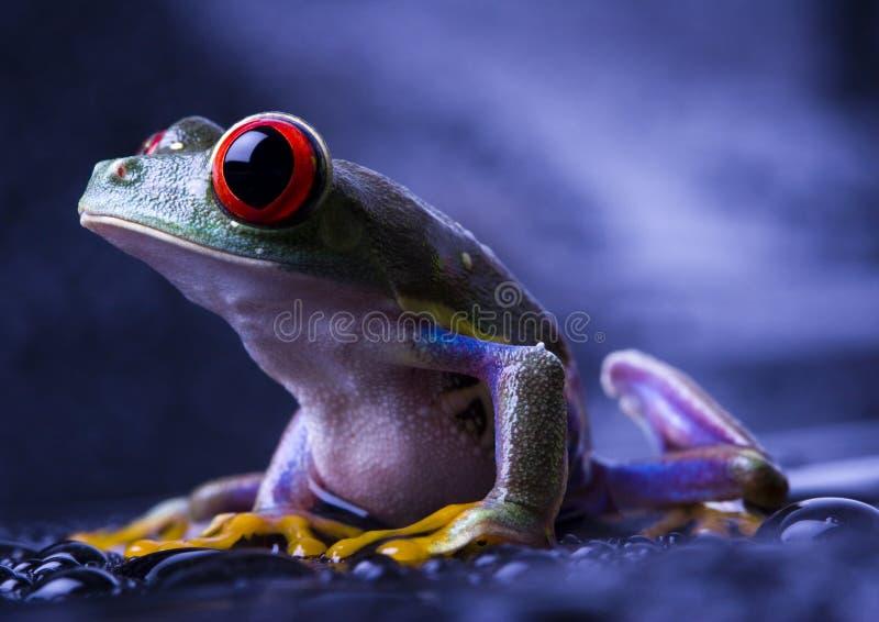 красивейший красный цвет лягушки стоковое фото
