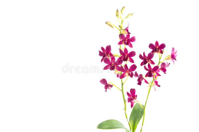 красивейший красный цвет орхидеи стоковое изображение