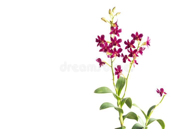 красивейший красный цвет орхидеи стоковое фото rf