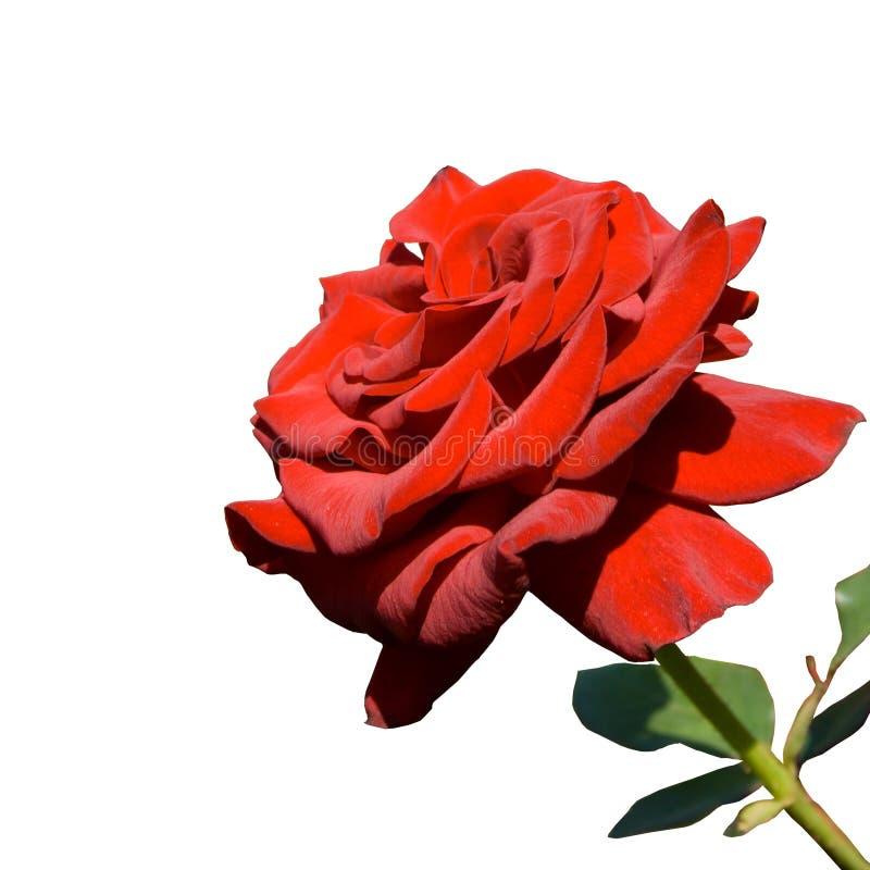 красивейший красный цвет поднял стоковое фото
