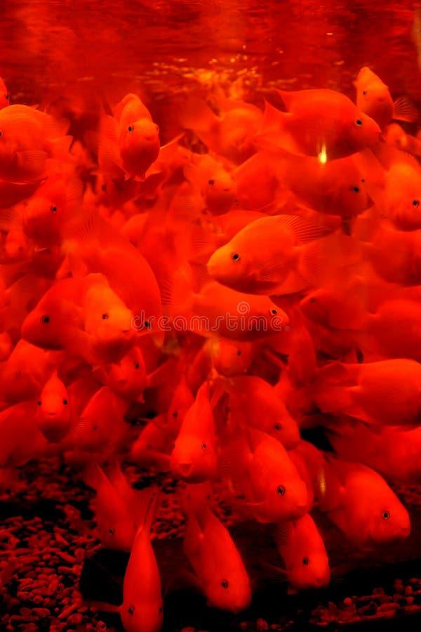 красивейший красный цвет рыб стоковые изображения