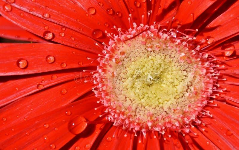 красивейший красный цвет gerbera стоковые изображения