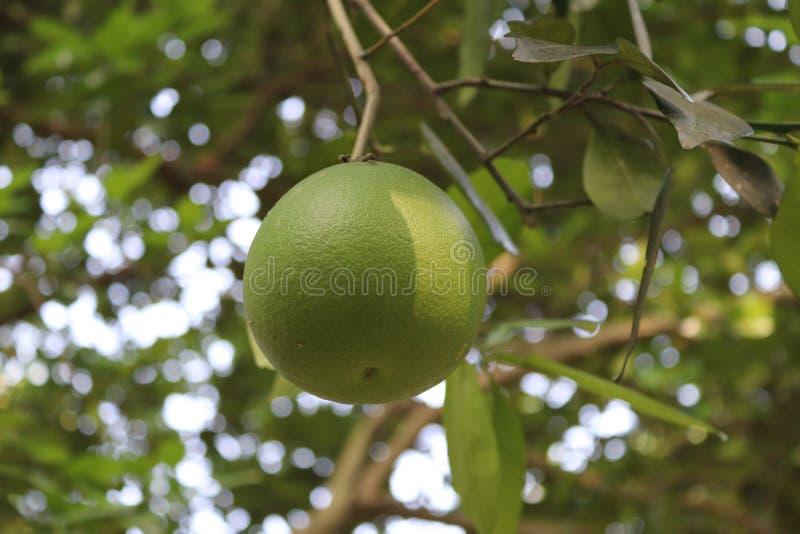 красивейший лимон стоковое изображение rf