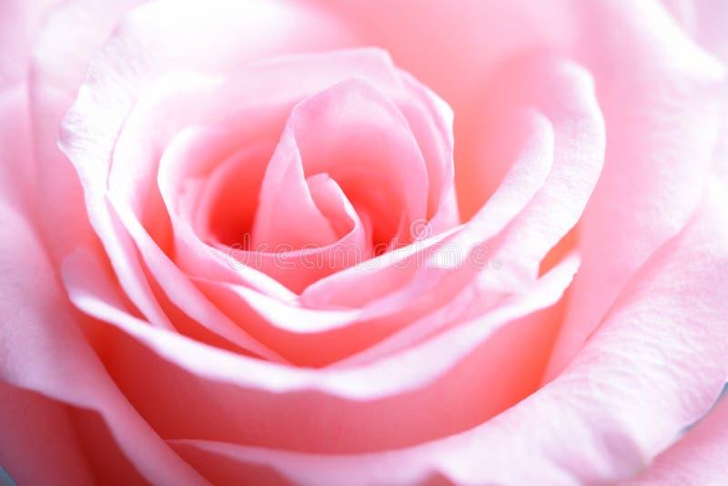 Макрос розы пинка стоковое изображение