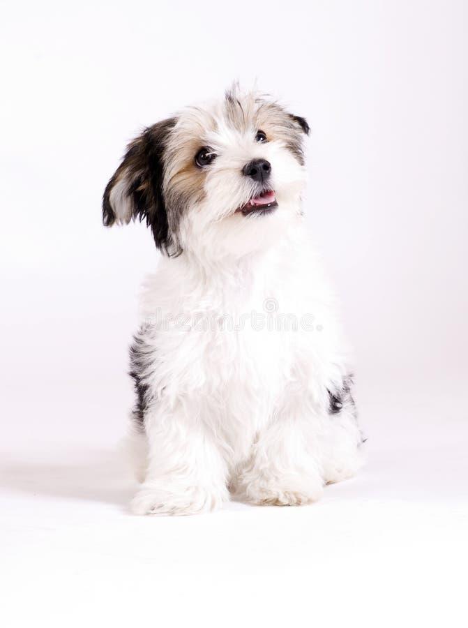 Малая longhaired смешанная собака, 16 недель, terrier мальтийсных и Yorkshire стоковое изображение