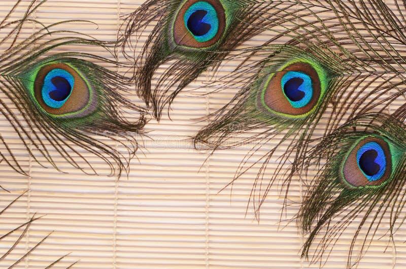 красивейший павлин пера стоковое изображение rf