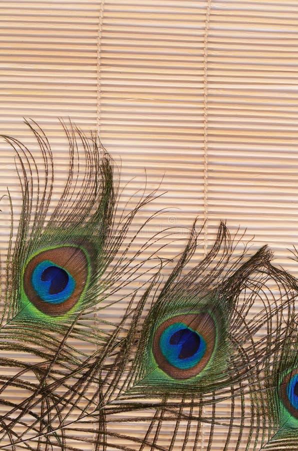 красивейший павлин пера стоковая фотография