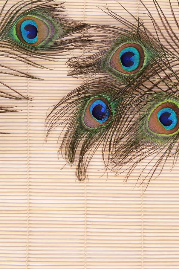 красивейший павлин пера стоковые фото