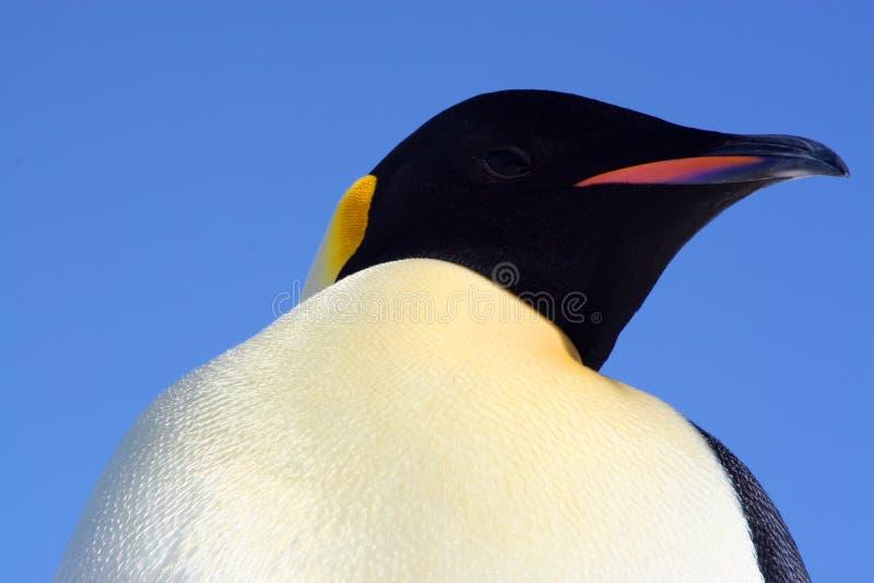 красивейший пингвин императора