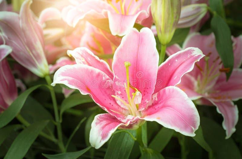 красивейший пинк лилии цветка стоковые изображения rf