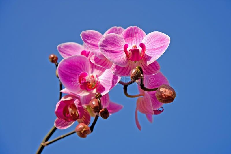 красивейший пинк орхидеи стоковые фотографии rf