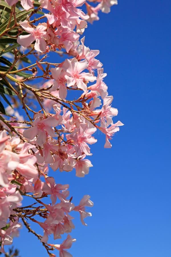 красивейший пинк oleander цветков стоковые изображения rf
