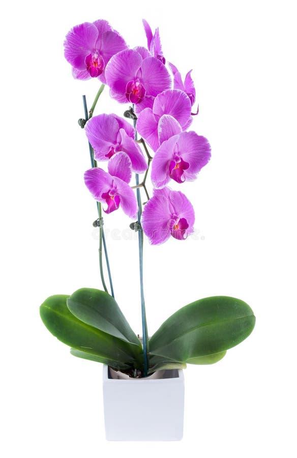красивейший пурпур орхидеи стоковая фотография rf