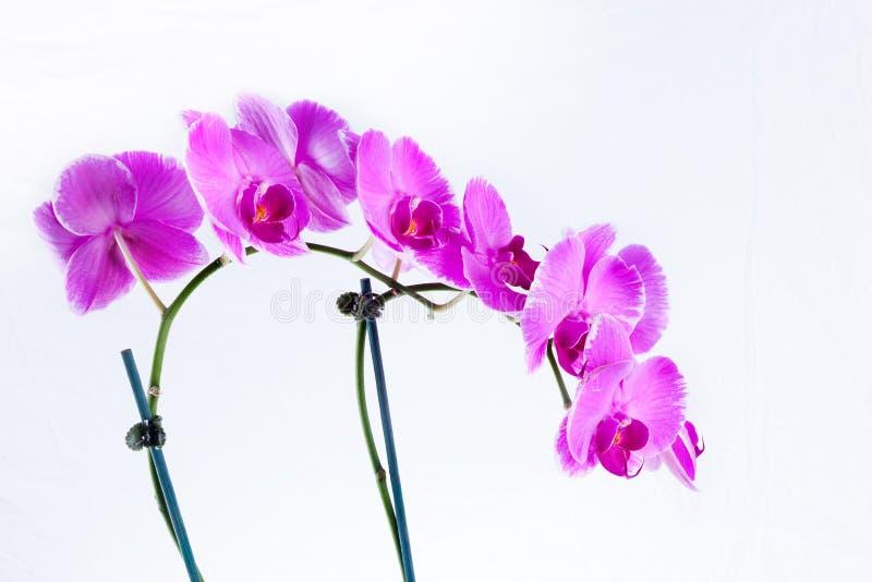 красивейший пурпур орхидеи стоковые изображения rf