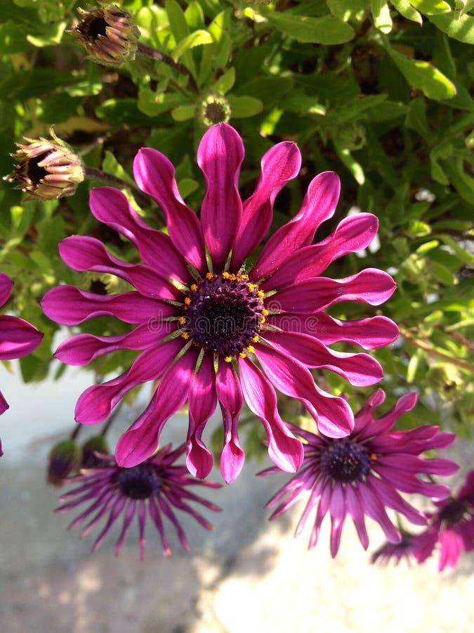 красивейший пурпур цветка стоковые изображения rf