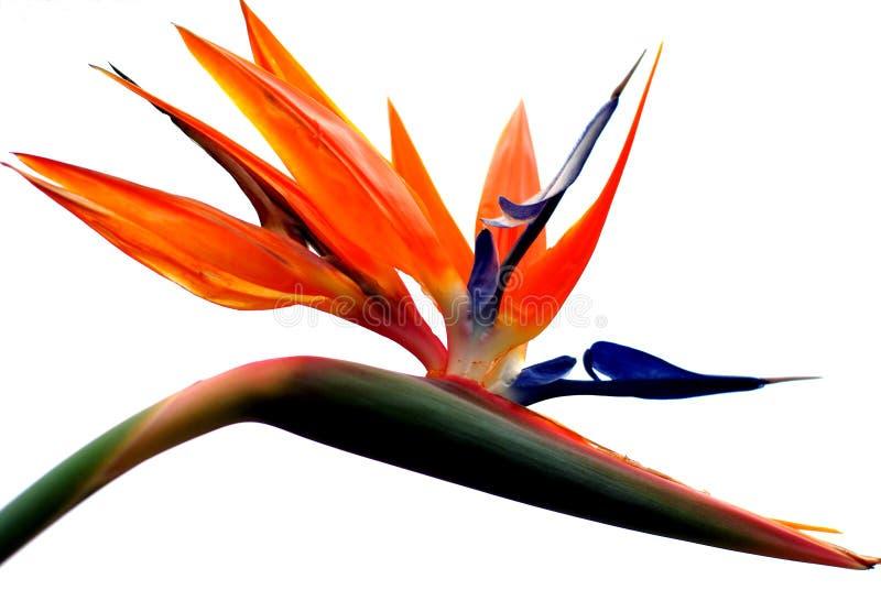 красивейший рай цветка птицы стоковое изображение rf